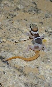 Cape gecko