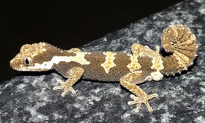 Rough-scaled Gecko